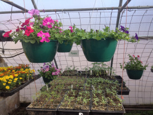 early hanging baskets